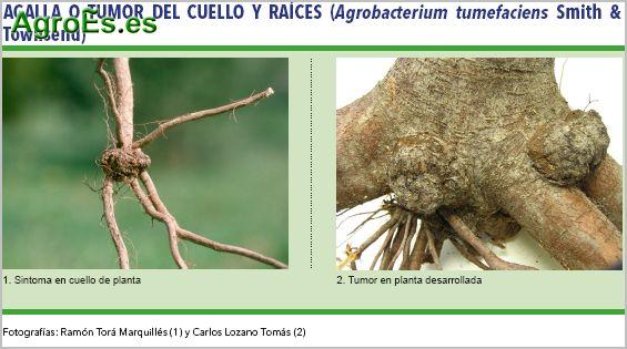 Agalla o tumor del cuello y raíces, Agrobacterium tumefaciens