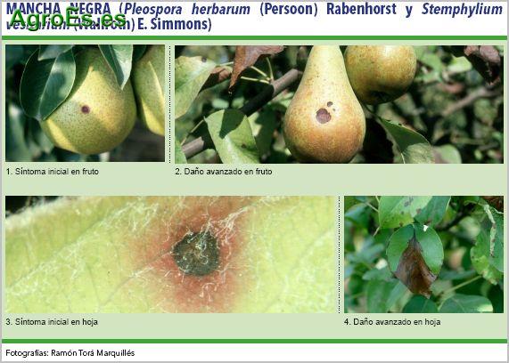 Mancha negra, Pleospora herbarum y Stemphylium vesicarium