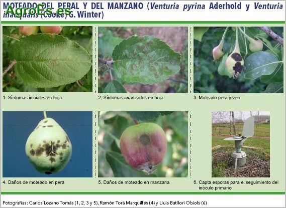 Moteado del peral y del manzano, Venturia pyrina Aderhold y Venturia inaequalis