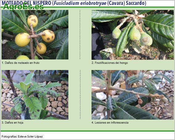 Moteado del níspero, Fusicladium eriobrotryae