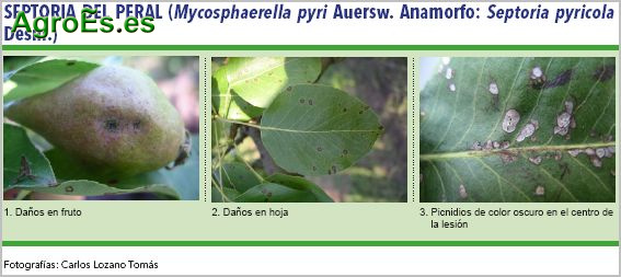 Septoria del peral, Mycosphaerella pyri. Anamorfo: Septoria pyricola