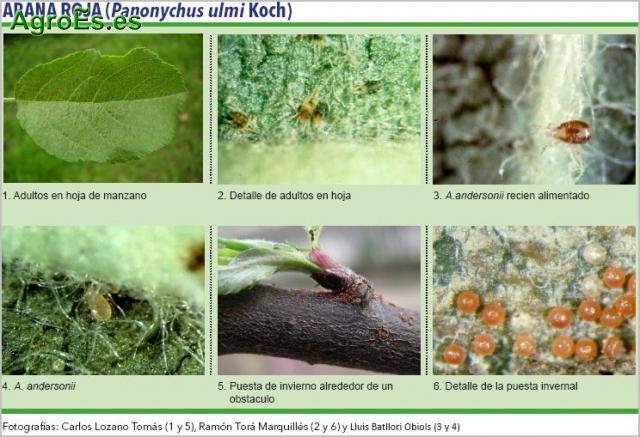 Araña Roja en frutales de pepita, Panonychus ulmi Koch