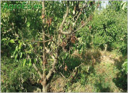 Barrenador de la madera del peral, Xyleborus dispar