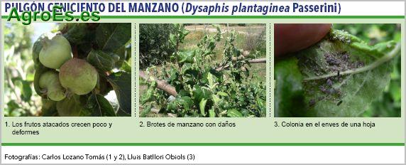 Pulgón ceniciento del Manzano, Dysaphis plantaginea