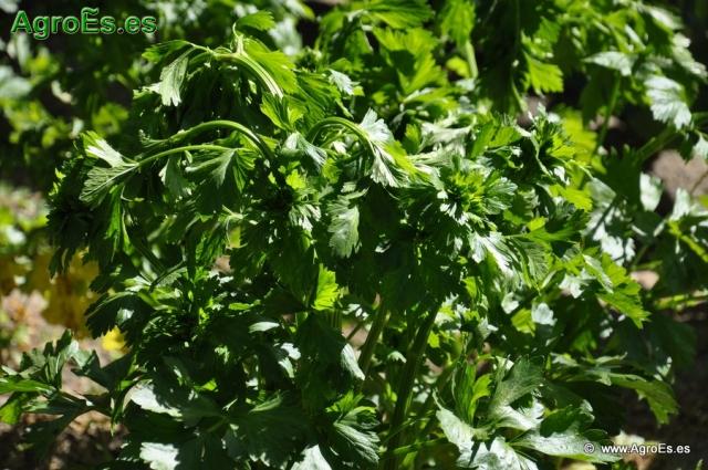 Abonado de Rábano, extracciones y Dosis de Nutrientes para fertilización con Nitrógeno, Fósforo y Potasa