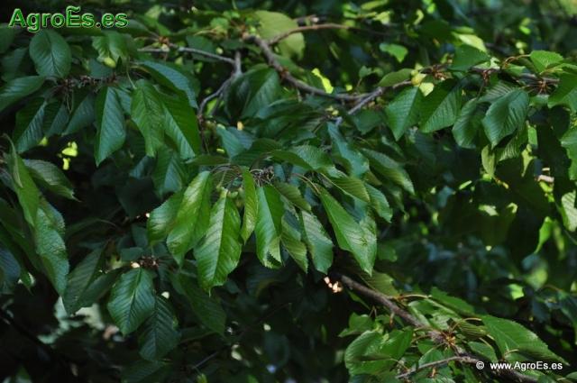 Abonado del Cerezo - Recomendaciones de fertilización