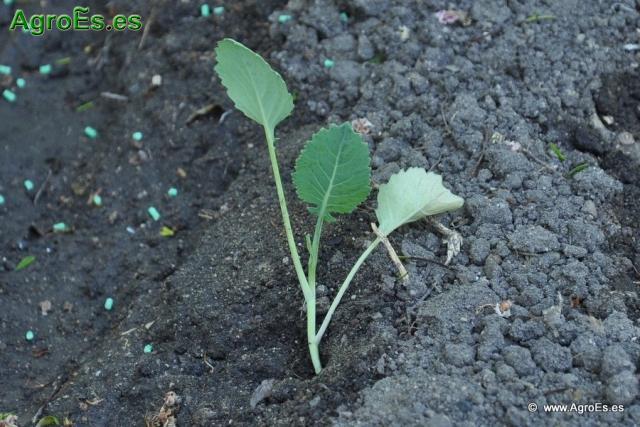 Abonado de Col, extracciones y Dosis de Nutrientes para fertilización con Nitrógeno, Fósforo y Potasa