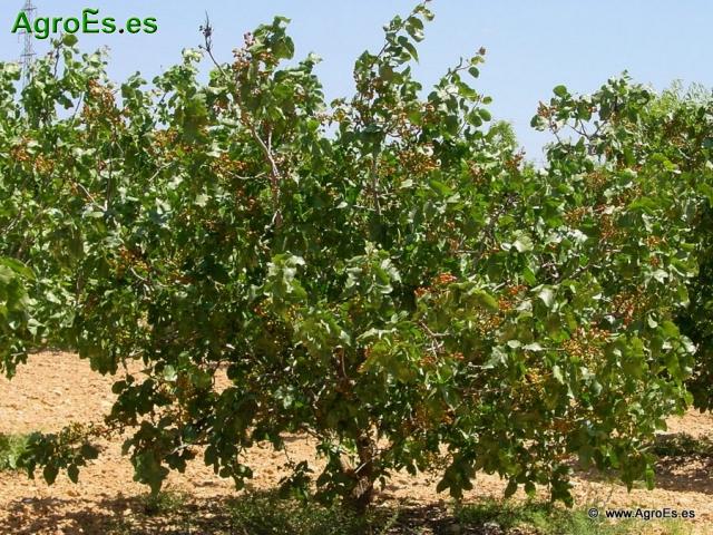 El Pistachero, elección de portainjerto y variedades de pistacho en Castilla La Mancha.