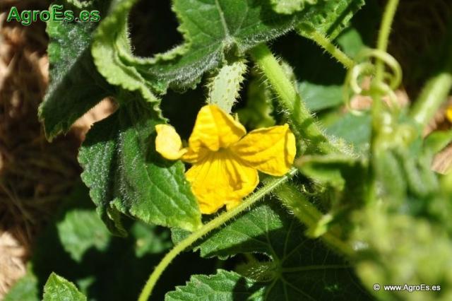 Abonado del Pepino, extracciones y Dosis de Nutrientes para fertilización con Nitrógeno, Fósforo y Potasa