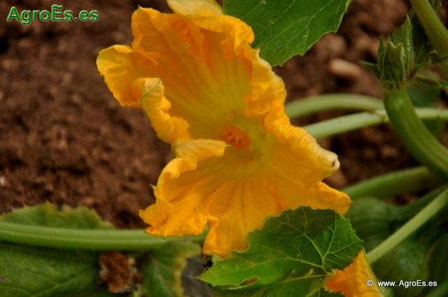 Abonado del Calabacín, extracciones y Dosis de Nutrientes para fertilización con Nitrógeno, Fósforo y Potasa