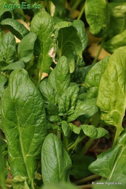 Abonado de Espinaca, extracciones y Dosis de Nutrientes para fertilización con Nitrógeno, Fósforo y Potasa
