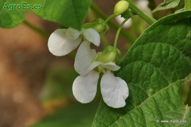 Phaseolus vulgaris L judías secas