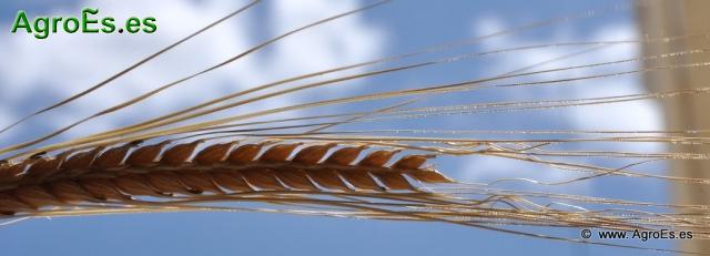 Recomendaciones de Abonado de Cebada - Fertilización
