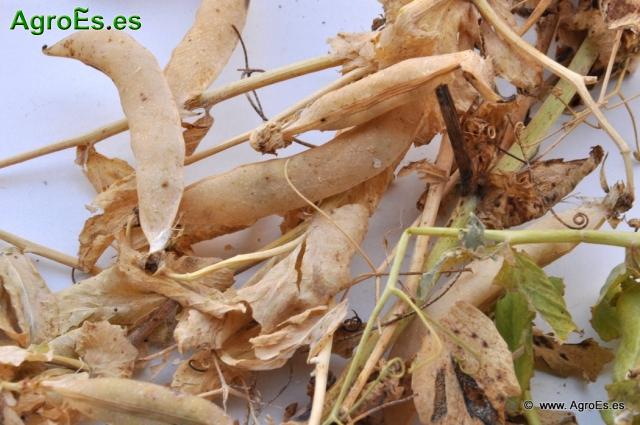Pisum sativum L guisante seco