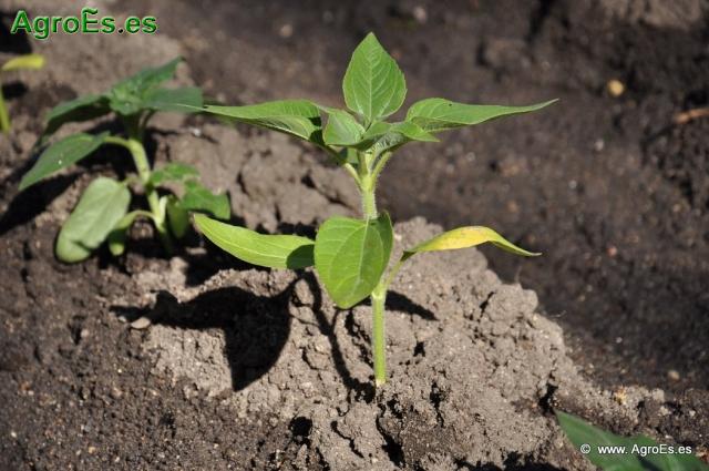Suelo y clima para el cultivo del Girasol - Necesidades y exigencias