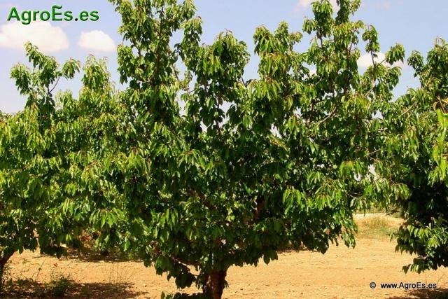 Técnicas de poda del cerezo, mejora de la producción, la calidad y reducción de costes
