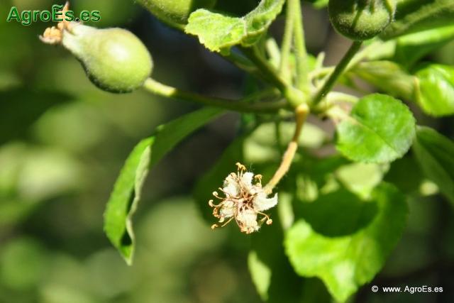 Abonado del Manzano - Recomendaciones de fertilización