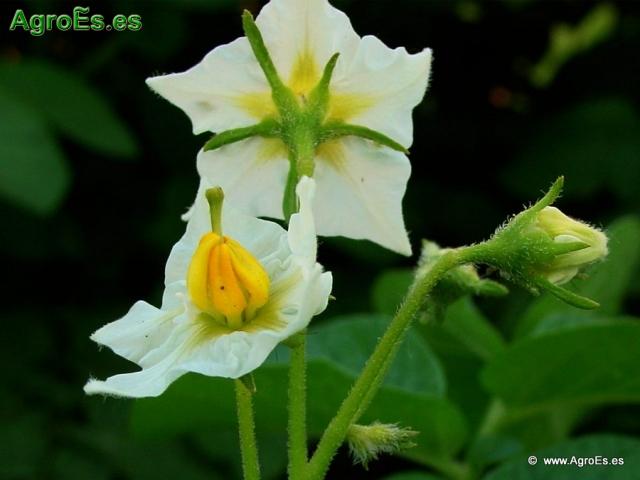 La Patata descripción botánica y generalidades