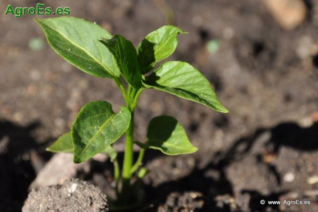 Abonado del Pimiento, extracciones y Dosis de Nutrientes para fertilización con Nitrógeno, Fósforo y Potasa