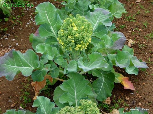 Abonado de Brócoli, extracciones y Dosis de Nutrientes para fertilización con Nitrógeno, Fósforo y Potasa