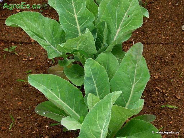 Abonado de Coliflor, extracciones y Dosis de Nutrientes para fertilización con Nitrógeno, Fósforo y Potasa