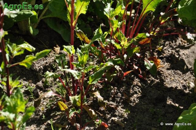 Remolacha azucarera Beta vulgaris var. sacharífera L.