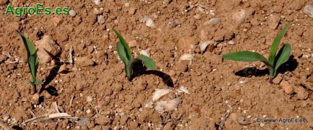 Maiz clima y suelo para su cultivo, necesidades