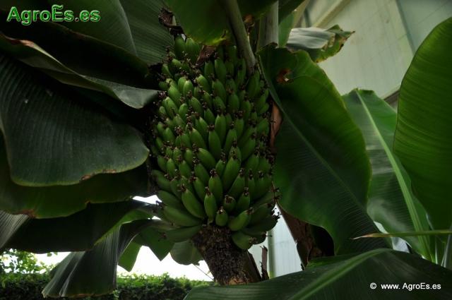 Plátano Banano Musa × paradisiaca