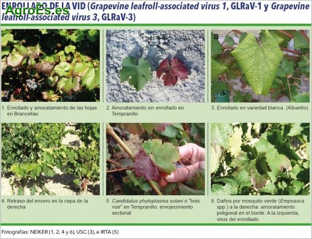 Enrollado GLRaV Virus Closterovirus, su Lucha y Control ...