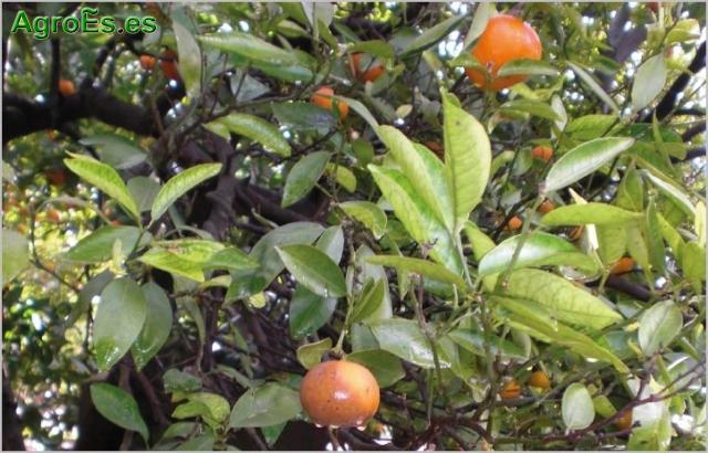 Aguado de c tricos phytophthora spp descripci n da os for Enfermedades citricos fotos