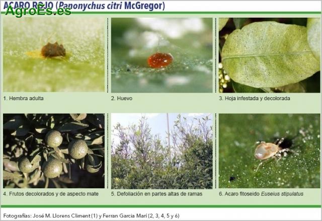 Acaro rojo en Cítricos, Panonychus citri, descripción, daños y ...