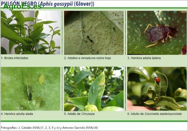 Pulg n negro en c tricos aphis gossypii descripci n - Pulgon en plantas ...