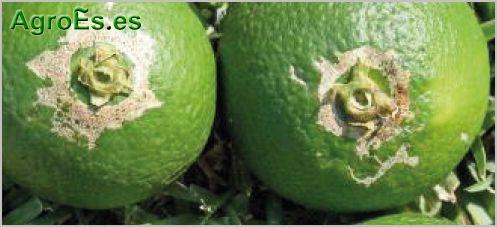 Naranjo for Enfermedades citricos fotos