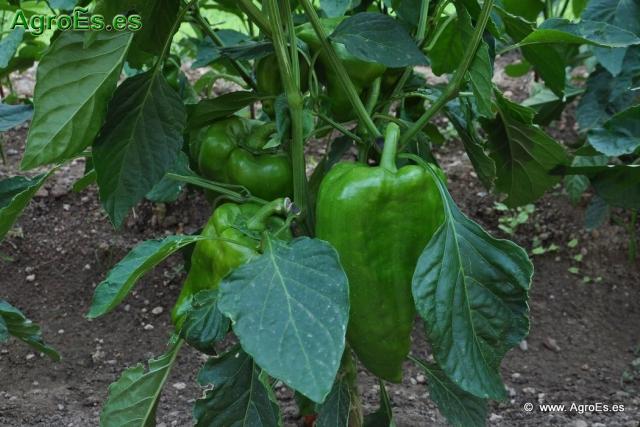 Pimiento for Potasio para plantas