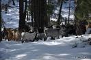 Cabras en la nieve_1