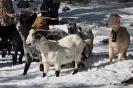 Cabras en la nieve_4
