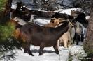 Cabras en la nieve_7