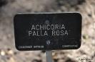 Achicoria Palla Rossa_1