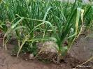 Ajos campos de cultivo