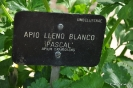 Apio Lleno Blanco Pascal_1