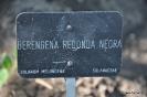 Berenjena Redonda Negra