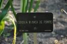 Cebolla Blanca Pompei_1