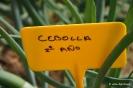 Cebolla_1
