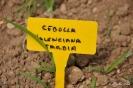 Cebolla Valenciana Tardía