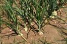Cebollas en cultivo