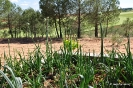 Cultivos de Cebollas