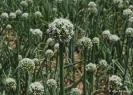 Cebollas con flor_6
