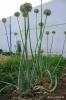 Cebollas - Estados de crecimiento