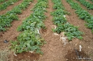 Momentos de desarrollo del cultivo de Melón semiforzado