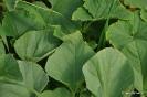 Cultivos de Pepinos
